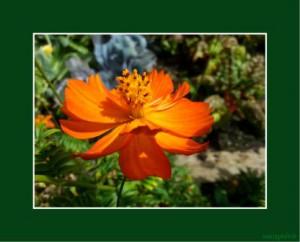 Legakulie Kostenlose Bilder Blumen
